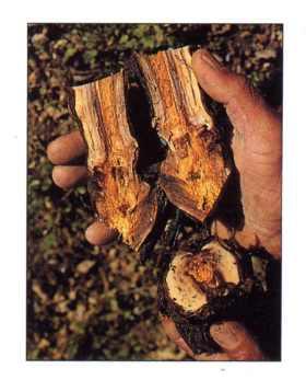 Les gouttes du microorganisme végétal dun ongle